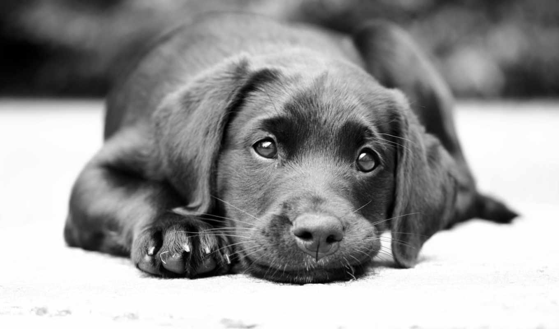 labrador, собака, чб, vzglyad, zhivotnye, собаки,