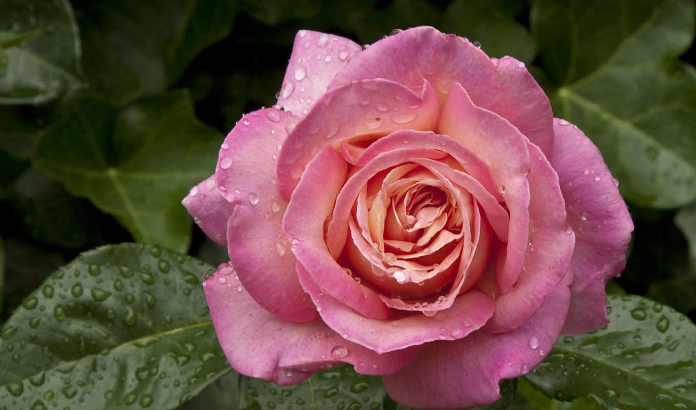 бутон, роза, капли, листья, цветы,