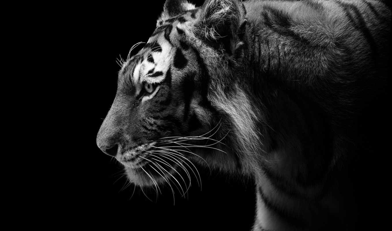 тигр, чёрно, дикая, кот, хищник, white, белое, profile,
