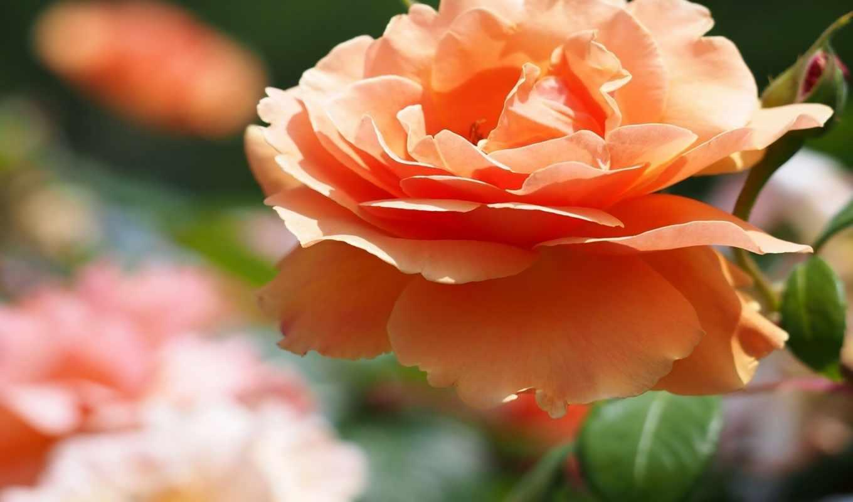 ,цветок,роза,оранжевый,