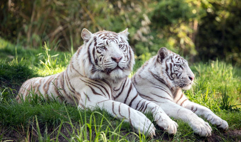 tigers, white, zhivotnye, кошки, два, тигры, тигр,