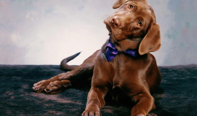 labrador, коричневый, собаки, лабрадора, зооклубе, шоколадный, бабочкой,
