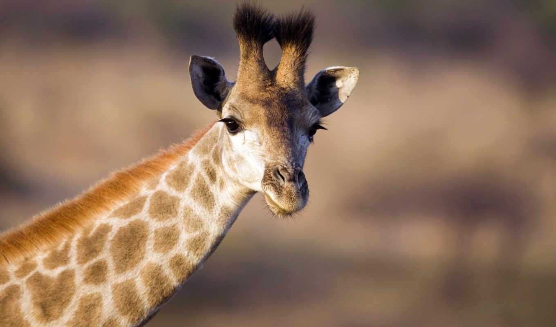 жираф, animals, cute, саванна, wild, природа, giraffes, baby, африка, животные,