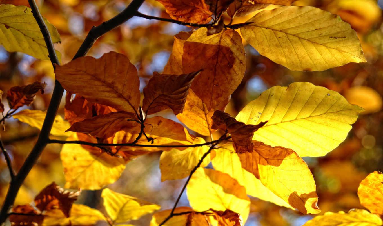 природа, осень, деревья, макро, осенние, листья, фотографии,