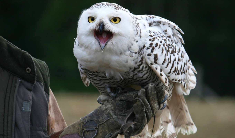snowy, сова, взгляд, птица, совы, devices,