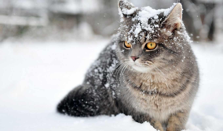 кот, winter, снег, cute, free, desktop, россия, снегопад,