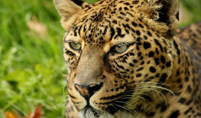 леопард, african