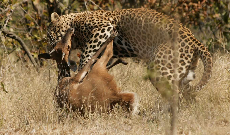 jaguar, леопард, леопарды, леопарда, hunt, кошки, zhivotnye, большие, крокодила, мире,