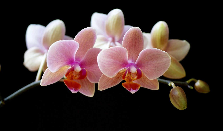 орхидеи, цветы, orchid, orchids, pictures, flowers, dark, orkide, кнопкой, правой, картинку, черном, ветка, темном, цветение, lucky, black, picture, скачивания, ней, мыши, выберите, resimleri, код, фо