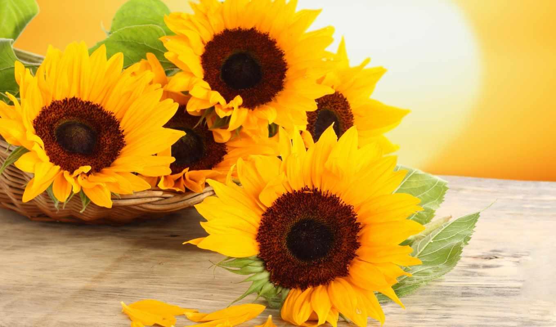 подсолнухи, цветы, корзиночках,