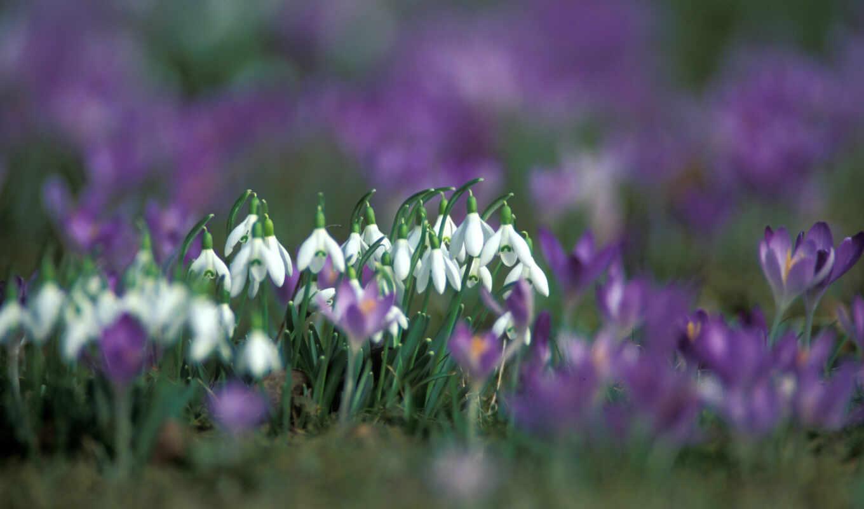 подснежники, весна, марта, макро, цветы,