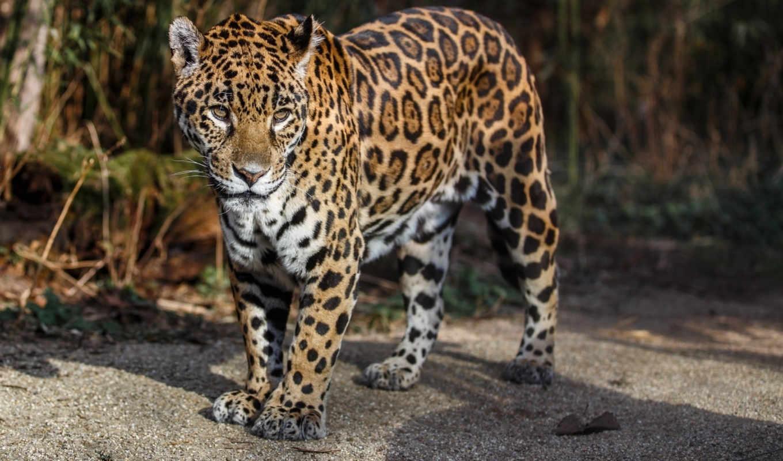 jaguar, кот, дикая, телефон, планшетный, ноутбук, любой, best,