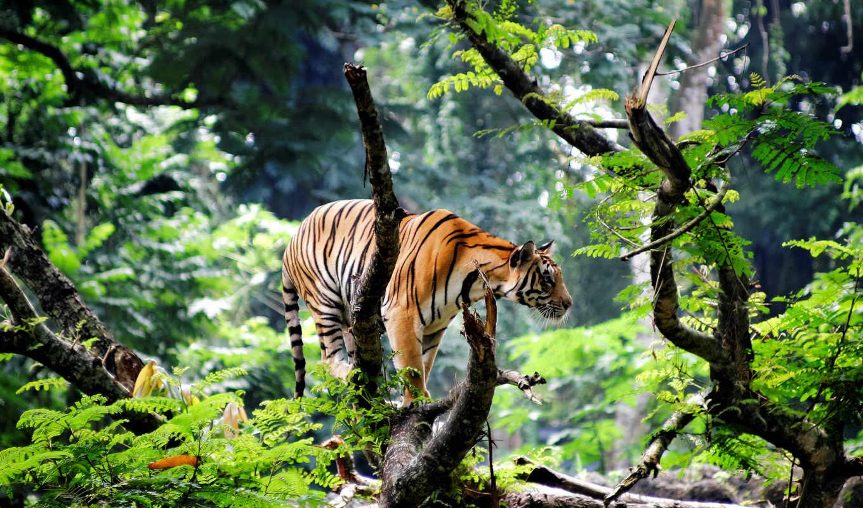 jungle, тигр, india, азия, молодой, бенгальский,