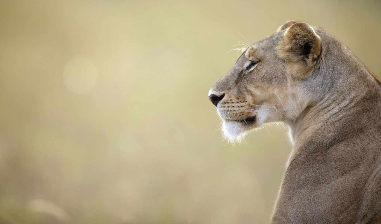 животные, львы, коллекция, дикая, львица,