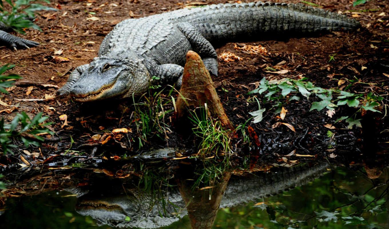 крокодилы, животные,
