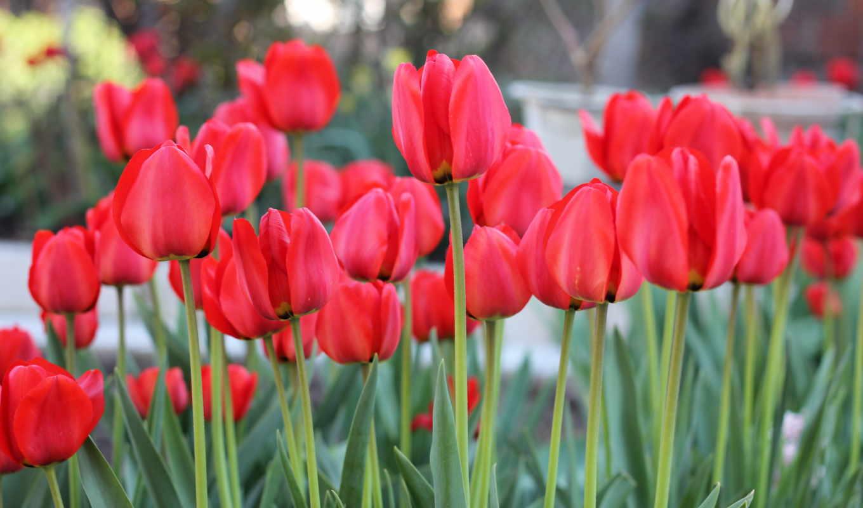 цветы, поля, тюльпаны, много, бутон, лепестки, категории, растительность, букеты, эустома,