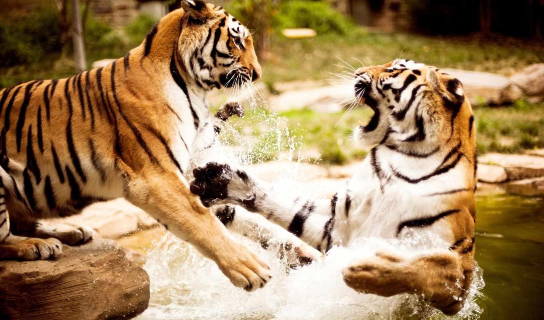 тигры, zhivotnye, природа, animals, тигр, весь, компьютера, бой,