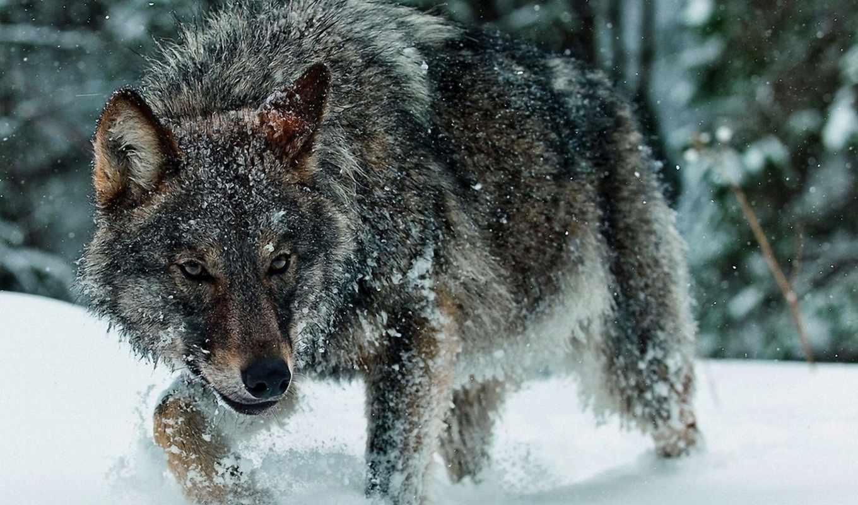 волк, волки, серия, волку, тоже, интересна, псами, animal, card, лесу, холодном,
