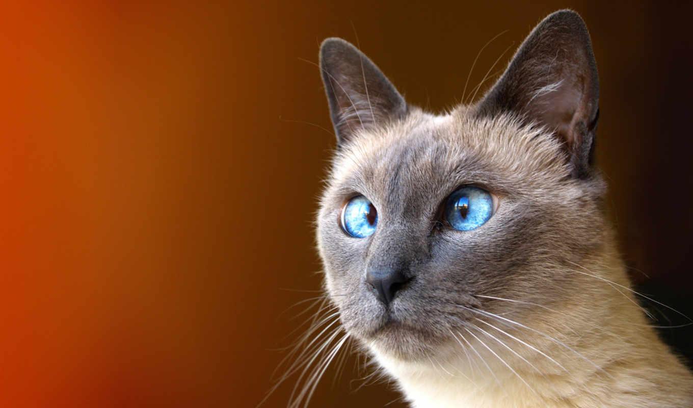 кот, усы, глазки, картинка, картинку, iphone, косой, кликните, сиамский,