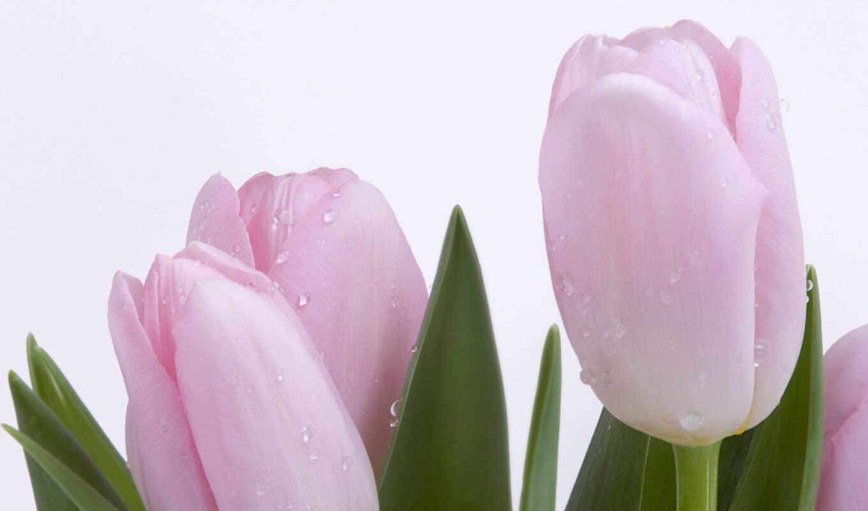 , desktop, tulips, pink, okno, download, zamknij,
