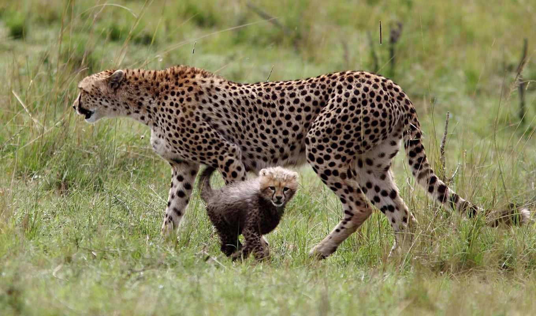 гепарды, материноство,