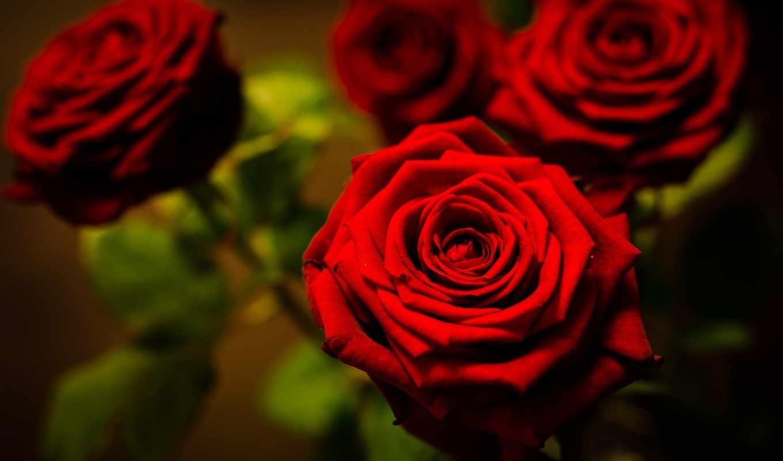 цветы, розы, разделе, red,