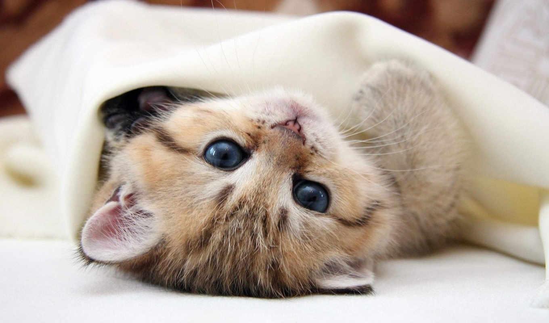 котенок, под, кошки, кот, одеялом, zhivotnye, котята,