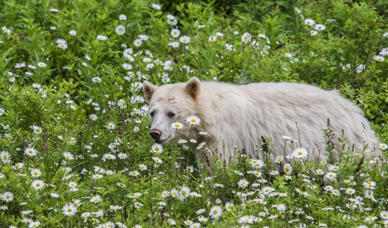 медведь, кермодский, медведей, кермод, являются, ромашки, cvety, медведи, наши,