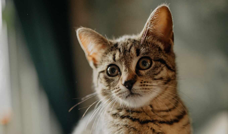 кот, cute, котенок, серьги, novocom, domestic, порода, yellow