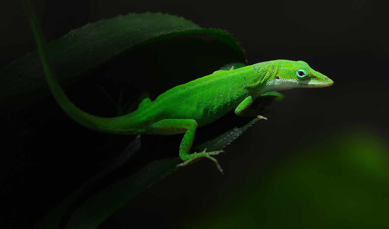 ящер, зелёная, basilisk,
