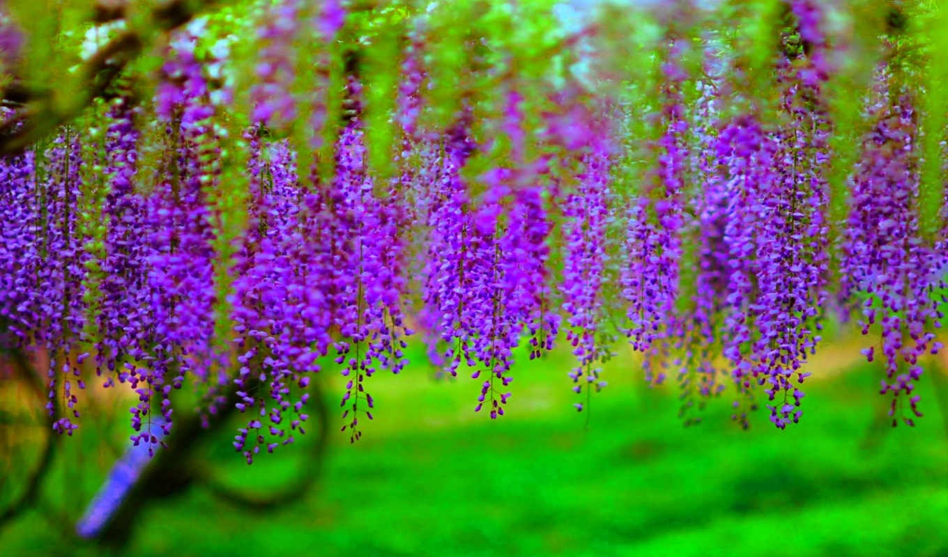 wisteria, desktop, possible, ultimate, served, resolution, природа, are, категория,