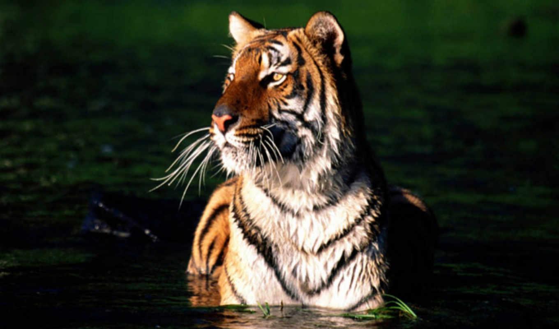 кошки, аватары, вконтакте, дикие, zhivotnye, тигр, taj, аватар,