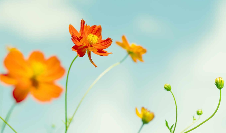 цветы, летние, fone, неба, summer,