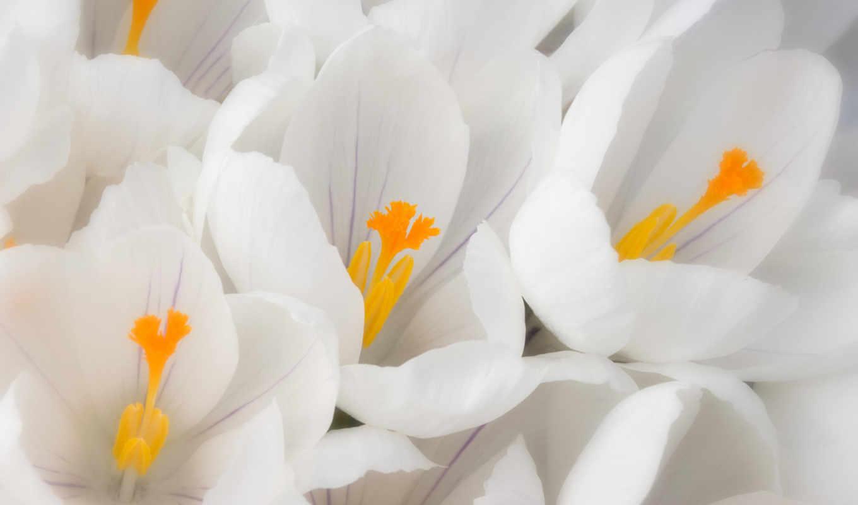 подснежники, первые, мар, цветы, под, белых,