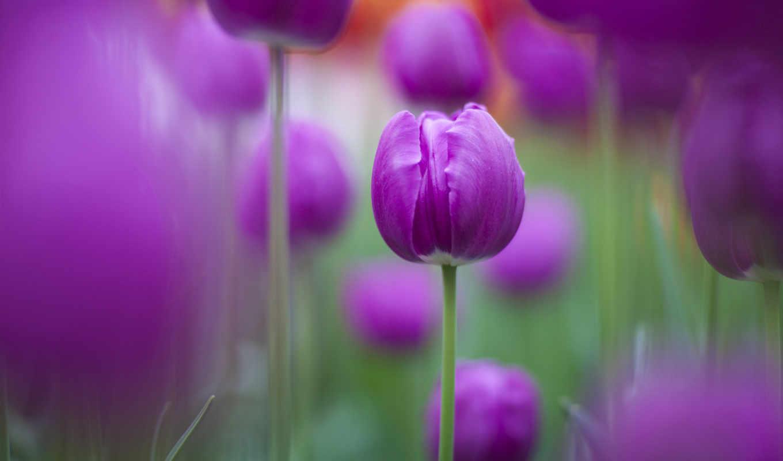 фиолетовые, тюльпаны, цветы, imagine, tulips, purple, trick,