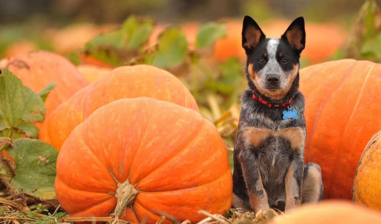 тыква, пасть, halloween, desktop, pumpkins, изображение, осень,
