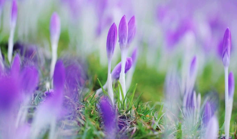 cvety, vesna, крокусы,