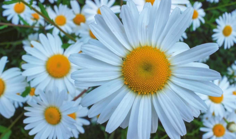 красивые, фотографий, пост, бесплатные, makro, ромашки, cvety, ekran, цветов, солнышко,