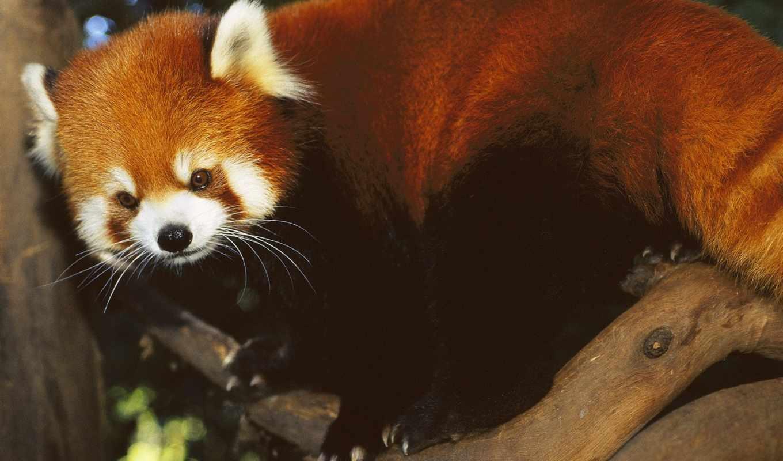 панда, зооклубе, малая, панды, животных, красная,