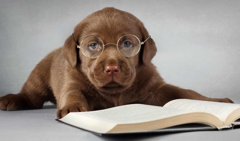 Собака, очки, книга, коричневый