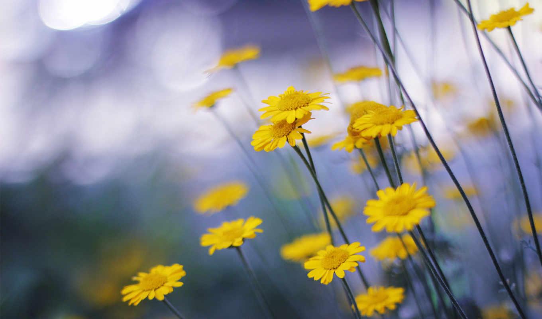 цветы, природа, макро, ромашки, желтые,