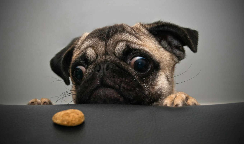 ди, animali, мопс, foto, wants, cookie, pinterest, divertenti, су, cane, yang,