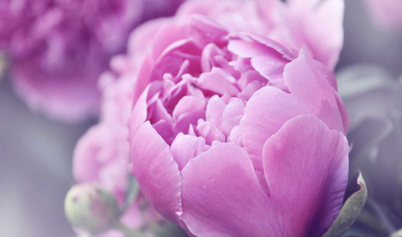 цветы, пионы, розовый, макро, букет, праздники,