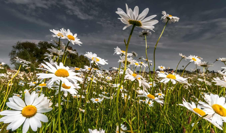 поле, ромашка, рoмашек, ромашки, ромашковое, цветы,