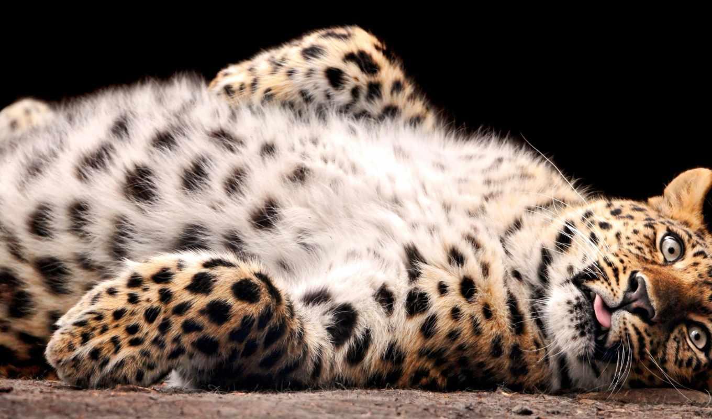леопард, леопарды,