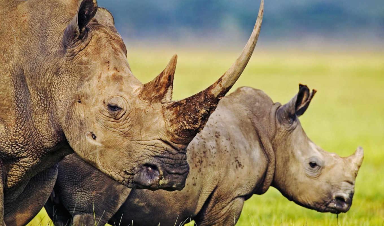 носороги, поле