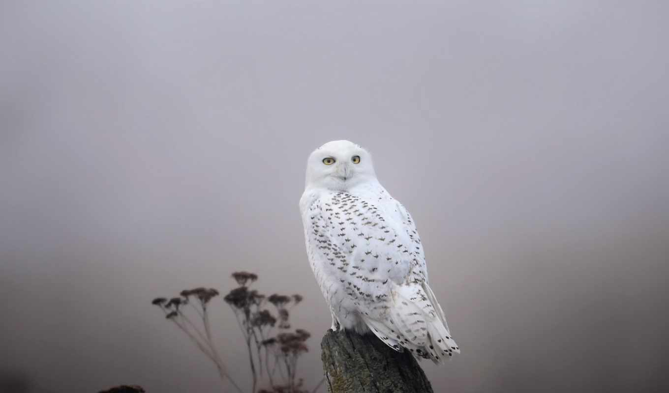 snowy, сова, cute, you, кс, pictures, images, zhivotnye, owls,