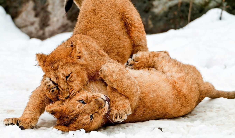 zhivotnye, кошки, усопшие, львы, winter, собаки, игры, снег, сунако,