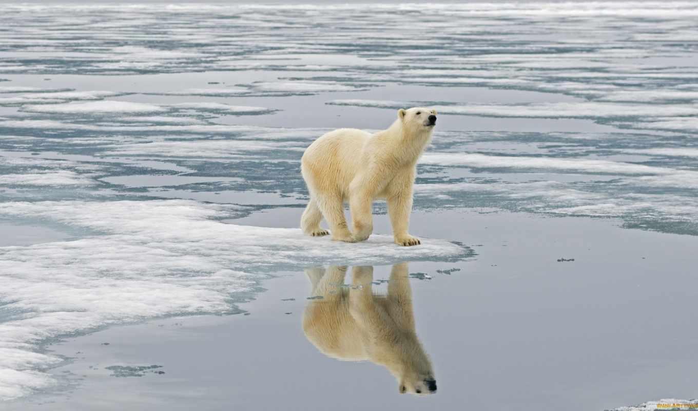 медведь, white, хищник, большой, бесплатные, arctic, яndex, коллекциях, случайные, медведей,