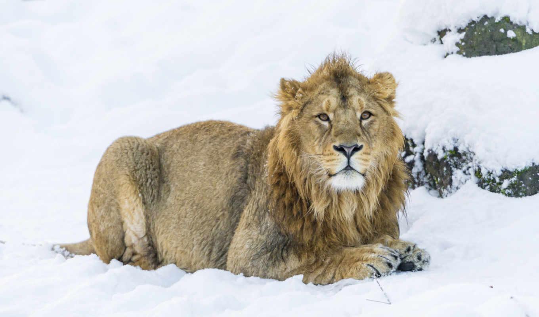 lion, снег, красивые, шерсть, zhivotnye,